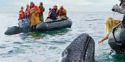 Interact with Baja Mexico's Grey Whales
